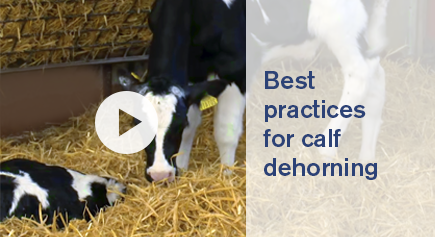 image Video Best practices for calf dehorning